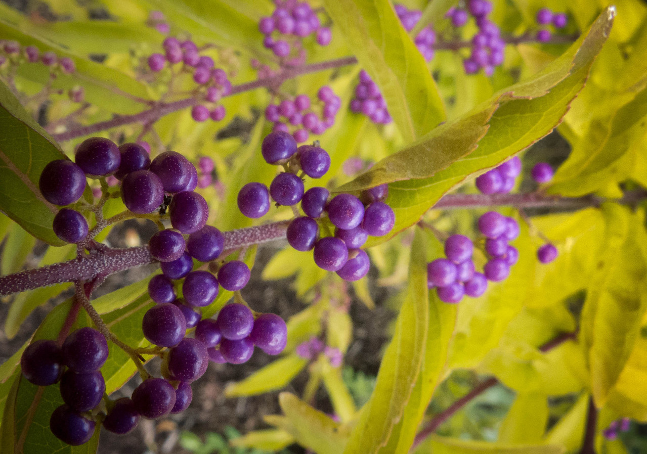 Beauty Berry fruit  Photographer's Name: Syrinda Sharpe