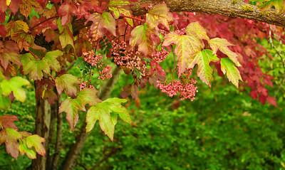 Mountain ash berries   Photographer's Name: Heather Dutra