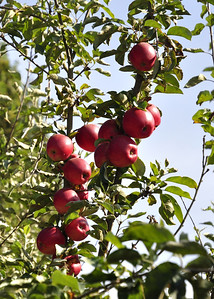 Apple ripening - http://mmmunchykrunchyapplefarm.com/apple-varieties.shtml  Photographer's Name: Nitin Goyal