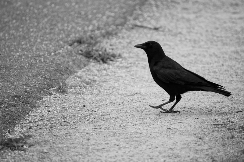 bird on the road<br /> <br /> Photographer's Name: brad kenny