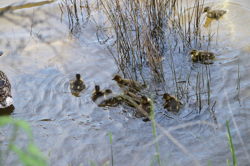 great moment with baby ducks<br /> <br /> Photographer's Name: brad kenny