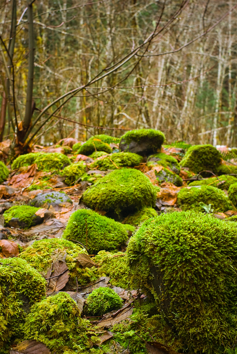 <b>THE MOSS FOREST:</b>  One of the things that I like about the forests of the northwest is all the green moss.  It covers everything that is still enough to let it grow.