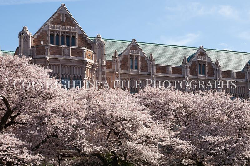 UW Cherry Blossoms 181