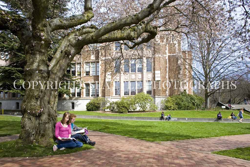 University of Washington Cherry Trees 248
