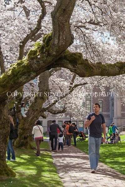 University of Washington Cherry Trees 222