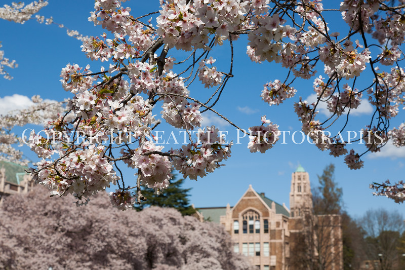 UW Cherry Blossoms 161