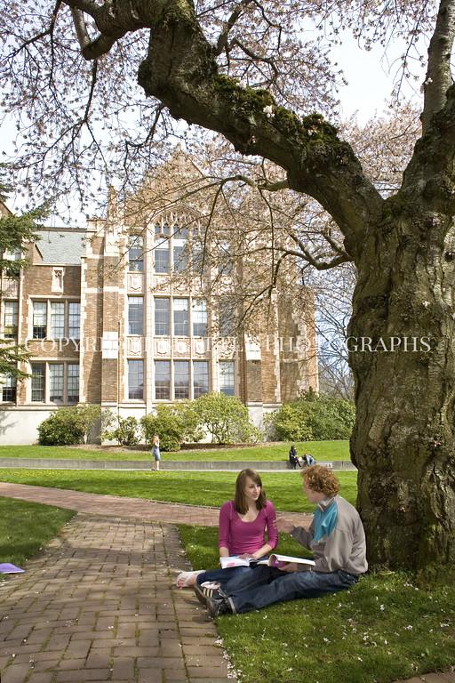 University of Washington Cherry Trees 245