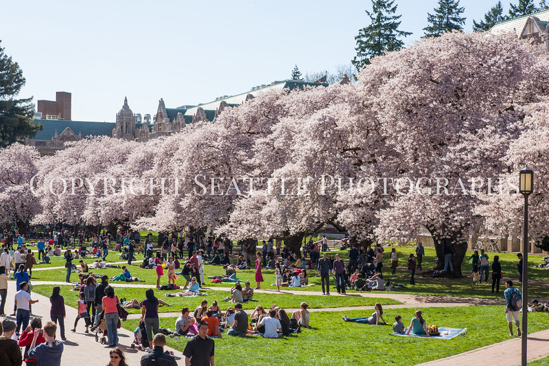 UW Cherry Blossoms 169
