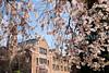 UW Cherry Blossoms 130