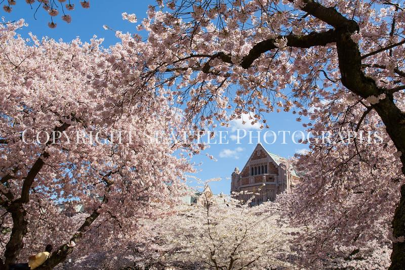 UW Cherry Blossoms 146