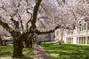 UW Cherry Blossoms 122
