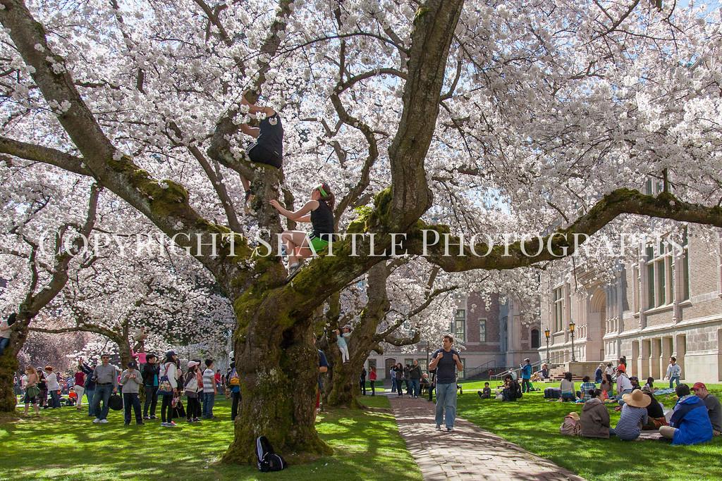 University of Washington Cherry Trees 224