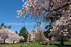 UW Cherry Blossoms 100
