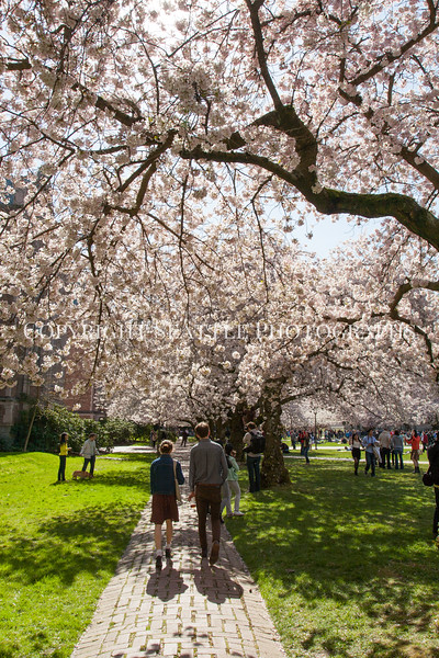 UW Cherry Blossoms 175