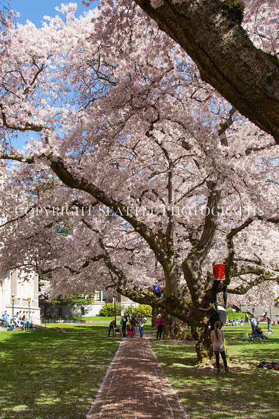 UW Cherry Blossoms 129