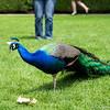 Peacocks! - 3