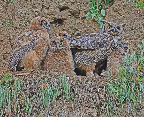 Second Day with Bennington Lake Owls: 5-7-18