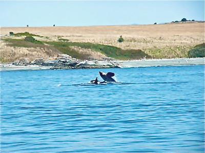 Orca Pod San Juan Island 9.10.11