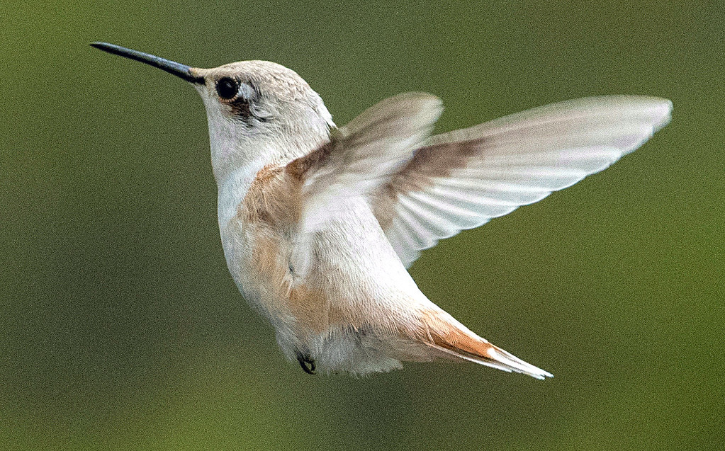 . Given the hummingbird\'s small overall size, short tail and peach coloring on its back, shoulder, and tail, the new arboretum resident is likely an Allen\'s or Rufous variety. (Mark Holsapple -- Contributed)