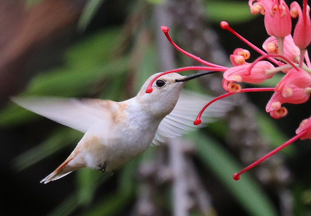 . Santa Cruz photographer Ferd Bergholz captured some of the first images of the second leucistic hummingbird spotted at the UC Santa Cruz Arboretum and Botanic Garden. (Ferd Bergholz -- Contributed)