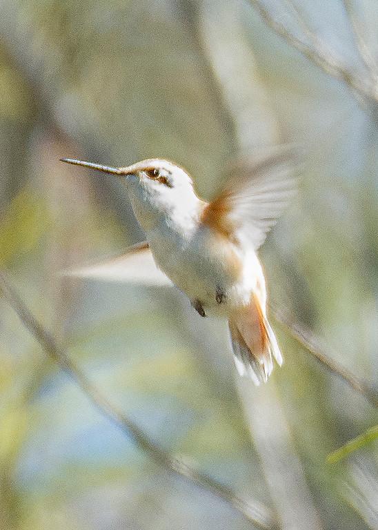 . Anna\'s Hummingbird at UC Santa Cruz Arboretum (Lucjan Szewczyk -- Santa Cruz Sentinel)