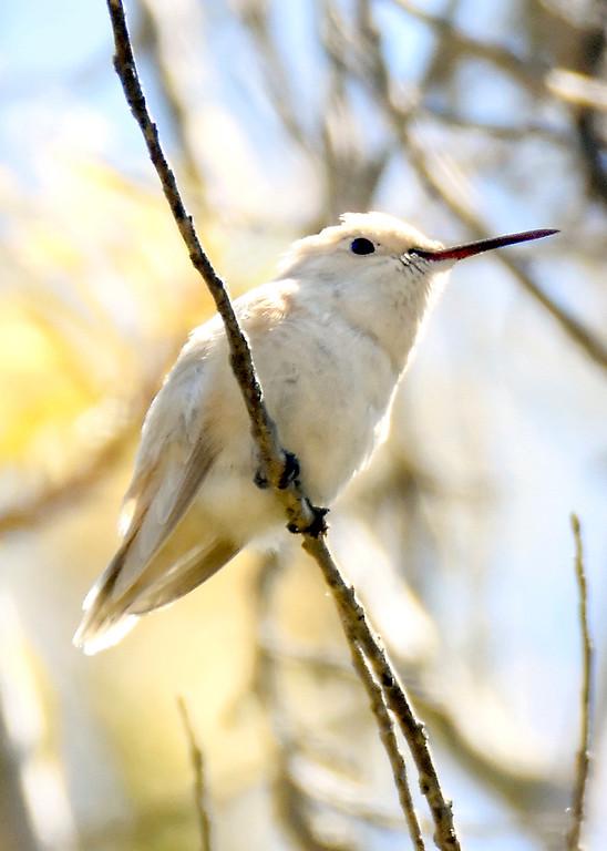 . A second leucistic hummingbird has been spotted in a UC Santa Cruz garden, after a first leucistic hummingbird was spotted in September. (Lucjan Szewczyk -- Santa Cruz Sentinel)