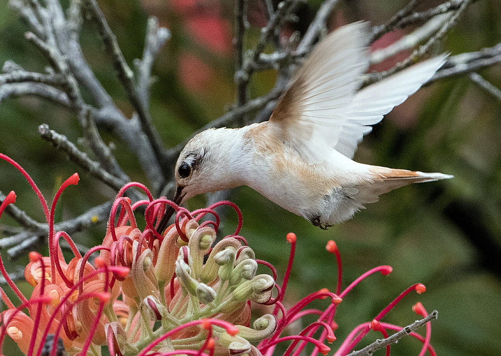 . A rare leucistic hummingbird, believed to be an Allen\'s or Rufous variety, sips from a flower at the UC Santa Cruz Arboretum and Botanic Garden. (Mark Holsapple -- Contributed)