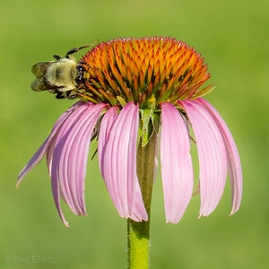 Bumble Bee on Echinacea