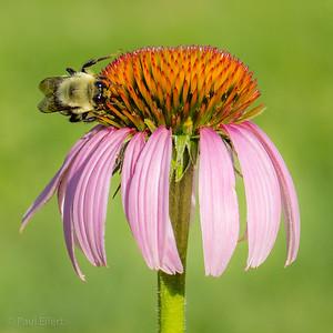 Bumble Bee on Echinacea