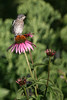 Baby bluebird on coneflower