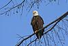 Captiva bald eagle