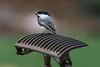 Chickadee on old rake