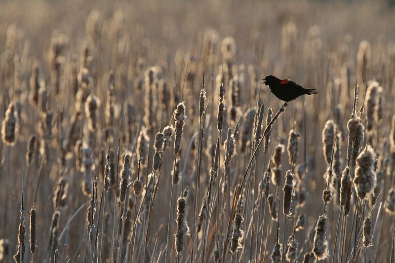 Red winged blackbird in sunset