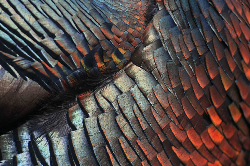Turkey feather iridescence