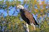 Bald eagle with fall colors