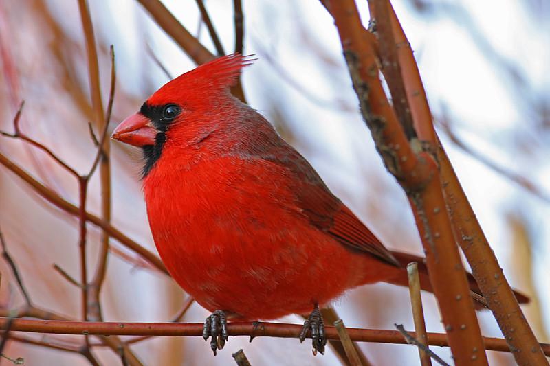 Northern Cardinal, Shakopee MN