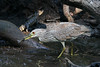 Juvenile night heron with fish