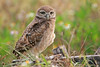 Amongst the flowers - Burrowing owl baby