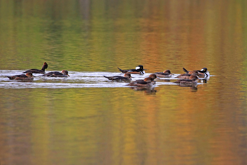 Mergansers in reflecting fall colors
