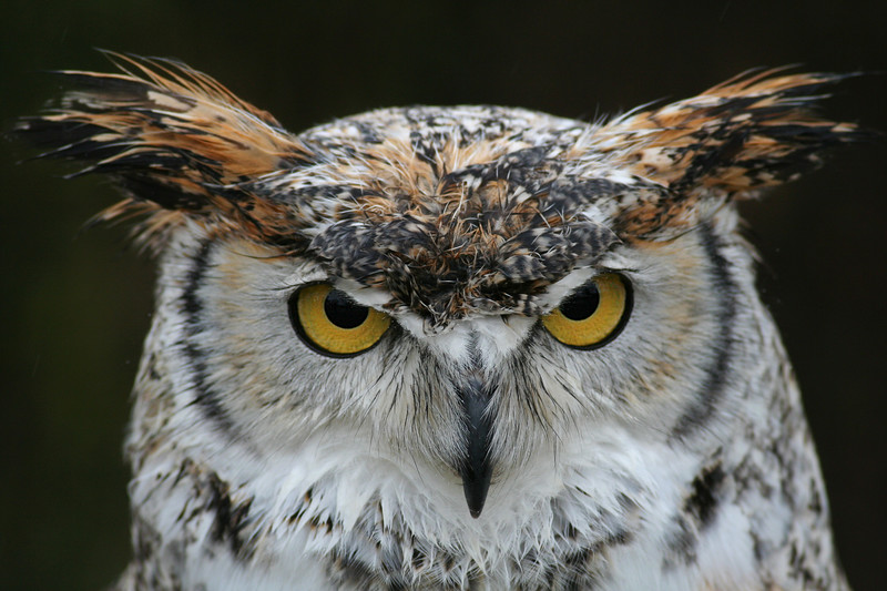 Great horned owl, St Paul MN