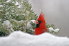 Snowy cardinal, Shakopee MN