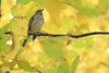 Bluebird (immature) in fall colors