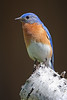 Eastern bluebird on birch