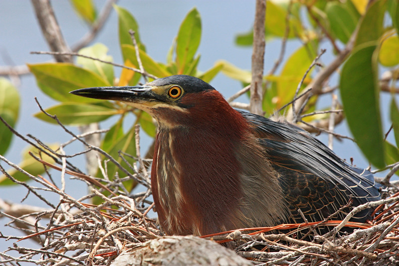 Little green heron on nest