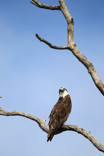 Osprey striking a pose