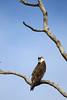 Osprey striking a pose