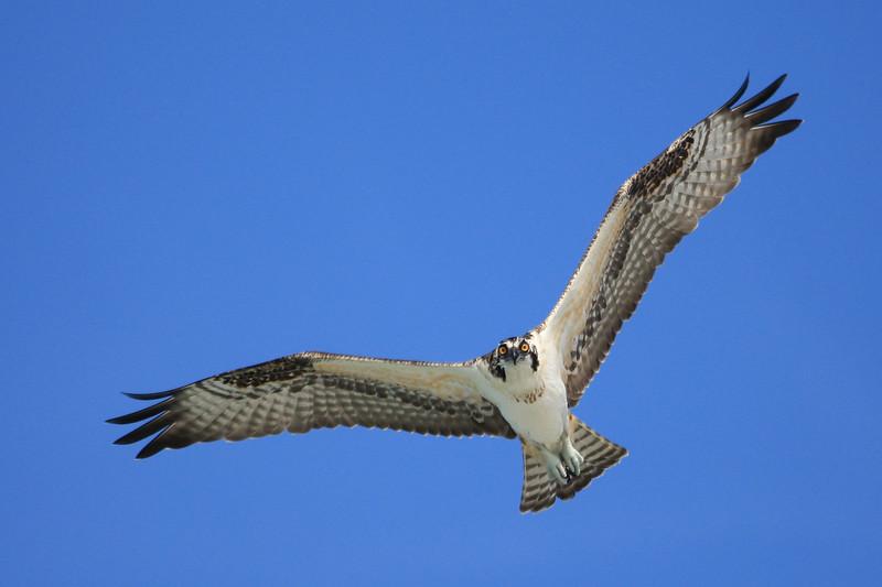 Osprey coming at ya!
