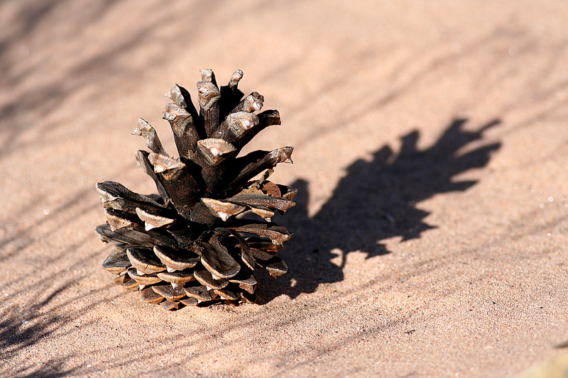 Pinecone in river bed, Red Rock, NV