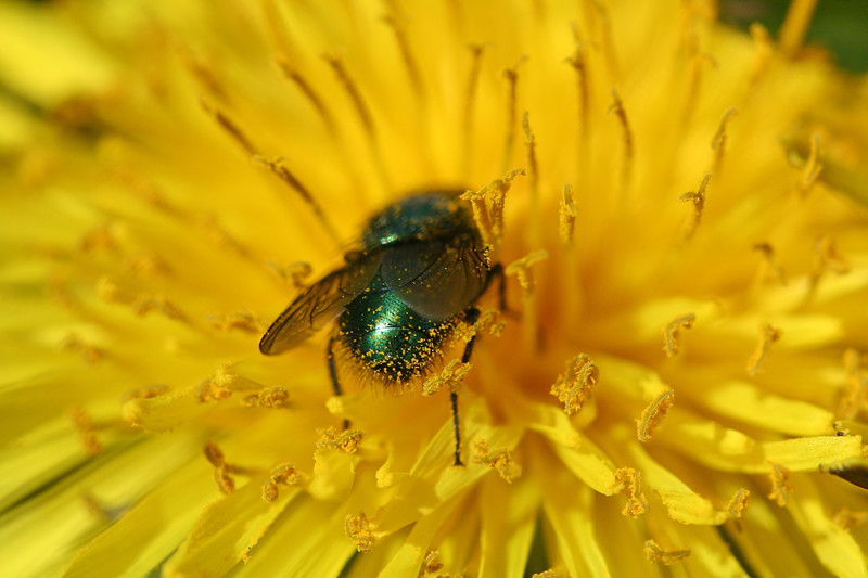 Green bottle fly on dandelion, Shakopee MN