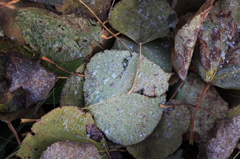 Frosty aspen leaves